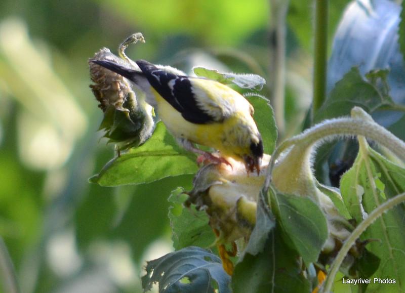 FSC_0118 American Goldfinch Sept 1 2014
