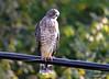 FSC_0127 Sharp-shinned Hawk Sept 1 2014