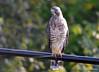 FSC_0132 Sharp-shinned Hawk Sept 1 2014