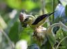 FSC_0120 American Goldfinch Sept 1 2014