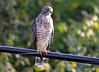 FSC_0128 Sharp-shinned Hawk Sept 1 2014