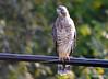 FSC_0131 Sharp-shinned Hawk Sept 1 2014