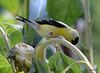 FSC_0125 American Goldfinch Sept 1 2014