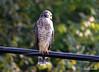 FSC_0126 Sharp-shinned Hawk Sept 1 2014
