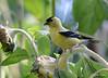 FSC_0123 American Goldfinch Sept 1 2014
