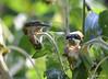 FSC_0122 American Goldfinch Sept 1 2014