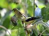 FSC_0121 American Goldfinch Sept 1 2014