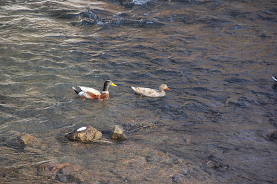 Ducks On Little Schuylkill River, Tamaqua (2-23-2014)
