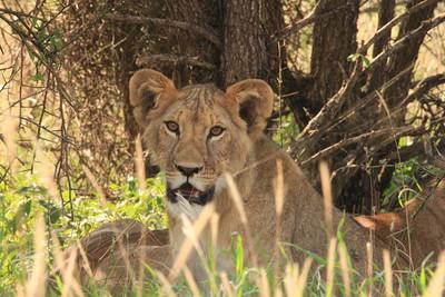 LIONS- Nemasi & Melio
