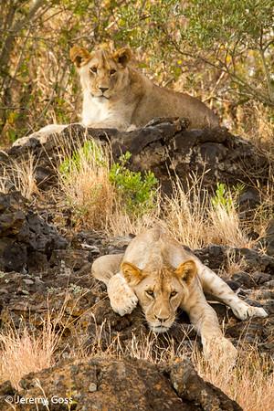 OL DONYO LIONS-- NEMESI and MELIO