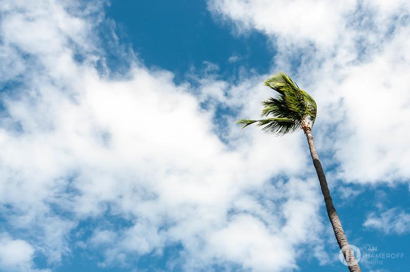 Kona Palm