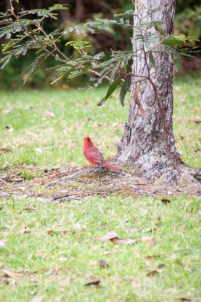 Bashful Cardinal