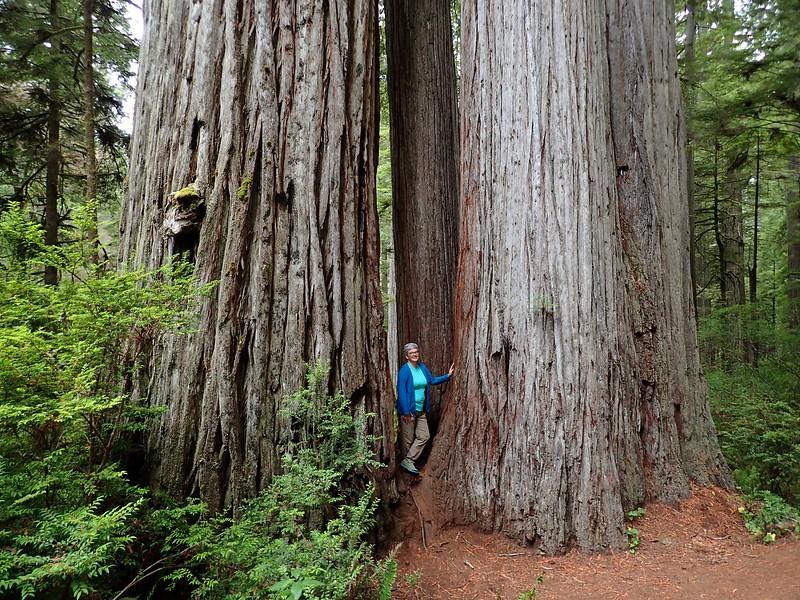 Boy Scout Tree Jedediah Smith Redwoods State Park California
