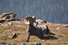 Bighorn Sheep - NCW