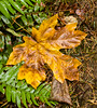 Soaked Sycamore Leaf