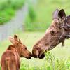 3rd - Joe Desjardins - FCC - Cow and calf moose - ( Alces alces )
