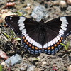Print-2nd place - White Admiral - Alice Pritchard - GCC