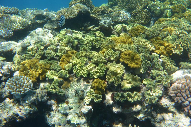 reef coral 2