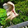 ibis_01