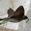 Northern Rough-winged Swallow -  With fecal pack