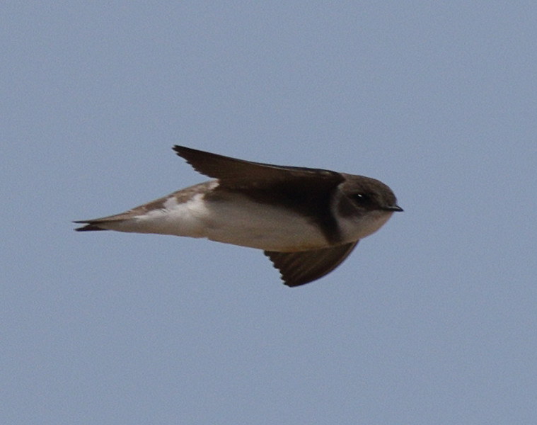 Bank Swallow -Rosewood Beach