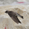 Northern Rough-winged Swallow -  Rosewood Beach