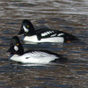 Common and Barrow's Goldeneye