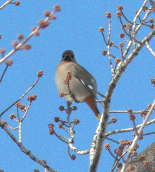 Bohemian Waxwing - Jackson Park south of the Museum of Science and Industry