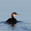 Red-necked Grebe - Winthrop Harbor