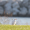 Cattle Egret - Lawn of Winthrop Harbor Yacht Club