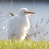 Cattle Egret - Winthrop Harbor Yacht Club lawn.