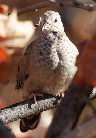 2015 Common Ground Dove - Lincoln Park Zoo