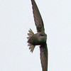 Chimney Swift - Montrose