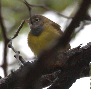 2015 Connecticut Warbler - Harrison and Clinton