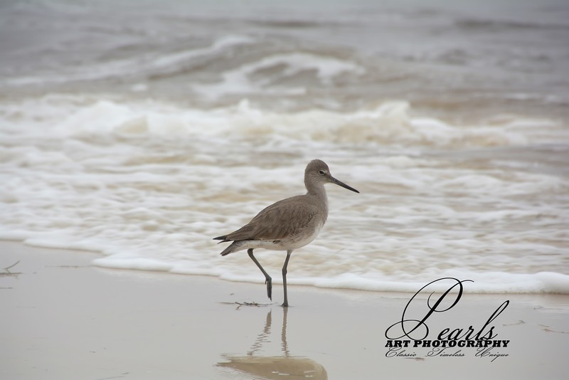 Sandpiper on Christmas Eve Day.