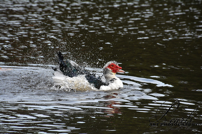 Bath Time - Muscovy Duck at Lake Caroline - Panama City FL