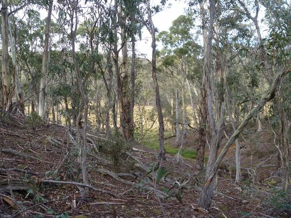 Open eucalypt forest lower elevation