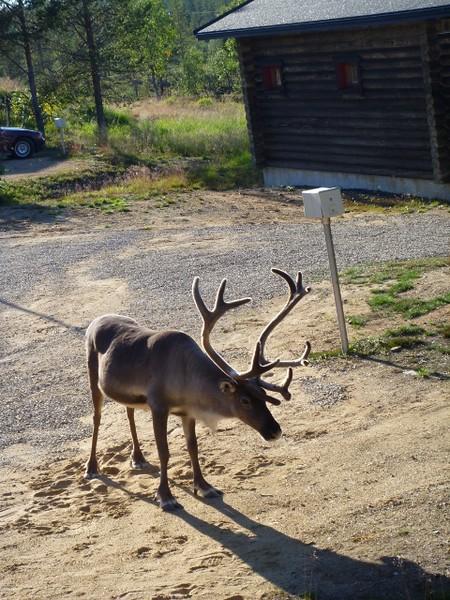 Reindeer visitor near the start