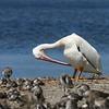 American White Pelican @ Ding Darling NWR FL - April 2015