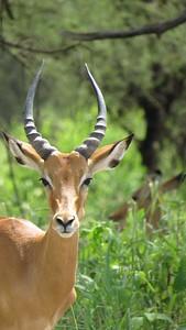 Tarangire Impala