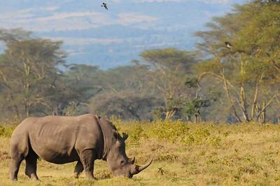 Kanya Black Rhino