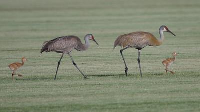 crane colts