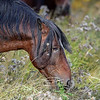 stallion eating thistle