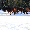 7 stallion band...the one stallion gives a warning snort and they all move out
