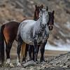 dapple mare very pregnant