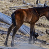 first new foal in White Spirit's band