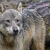 this wolf is from 2014 visit...we did not see any wolves this year (2015)