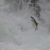 the salmon trying to get up the falls