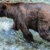 Dog Bear Fishing