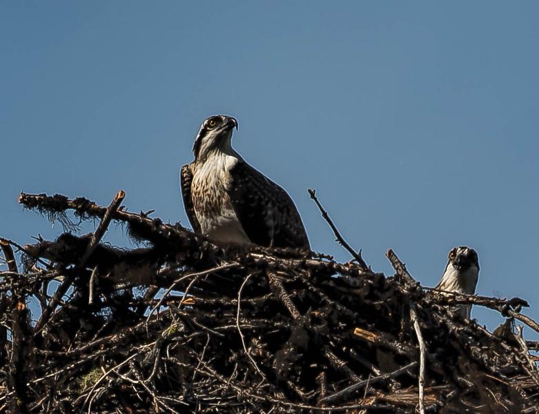 Ospreys near Hungry Horse Reseroir